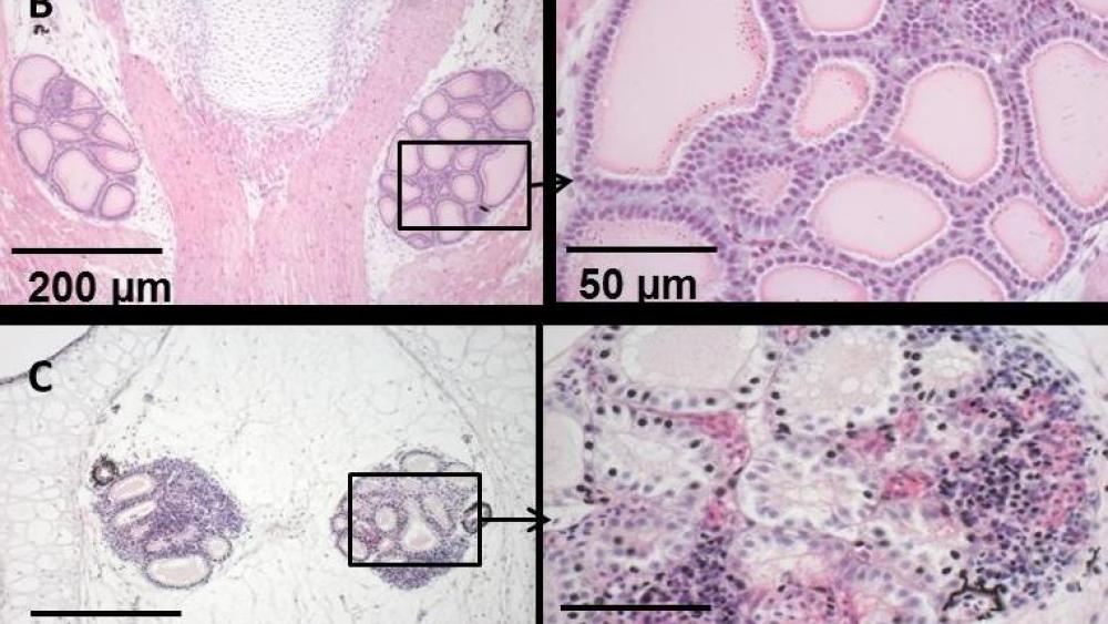 An example of how the cellular morphology of a thyroid gland can be affected by a thyroid-active substance. Upper row left and right: histological picture of a normal thyroid gland of the African clawed frog (X. laevis). Lower row left and right: histological modification of thyroid cells (magnification 50 and 200 µm). | Images: Claudia Lorenz