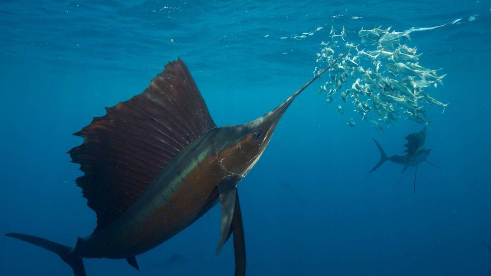 A group of sailfish (Istiophorus platypterus) hunting sardines in the open ocean off the coast of Mexico. | Photo: Rodrigo Friscione Wyssman